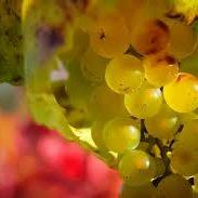 Foto del sitio web https://www.viveroslorente.com/planta-de-vid/uva-chardonnay/
